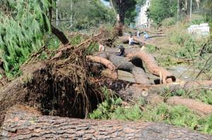 Alberi caduti in Lungarno Colombo