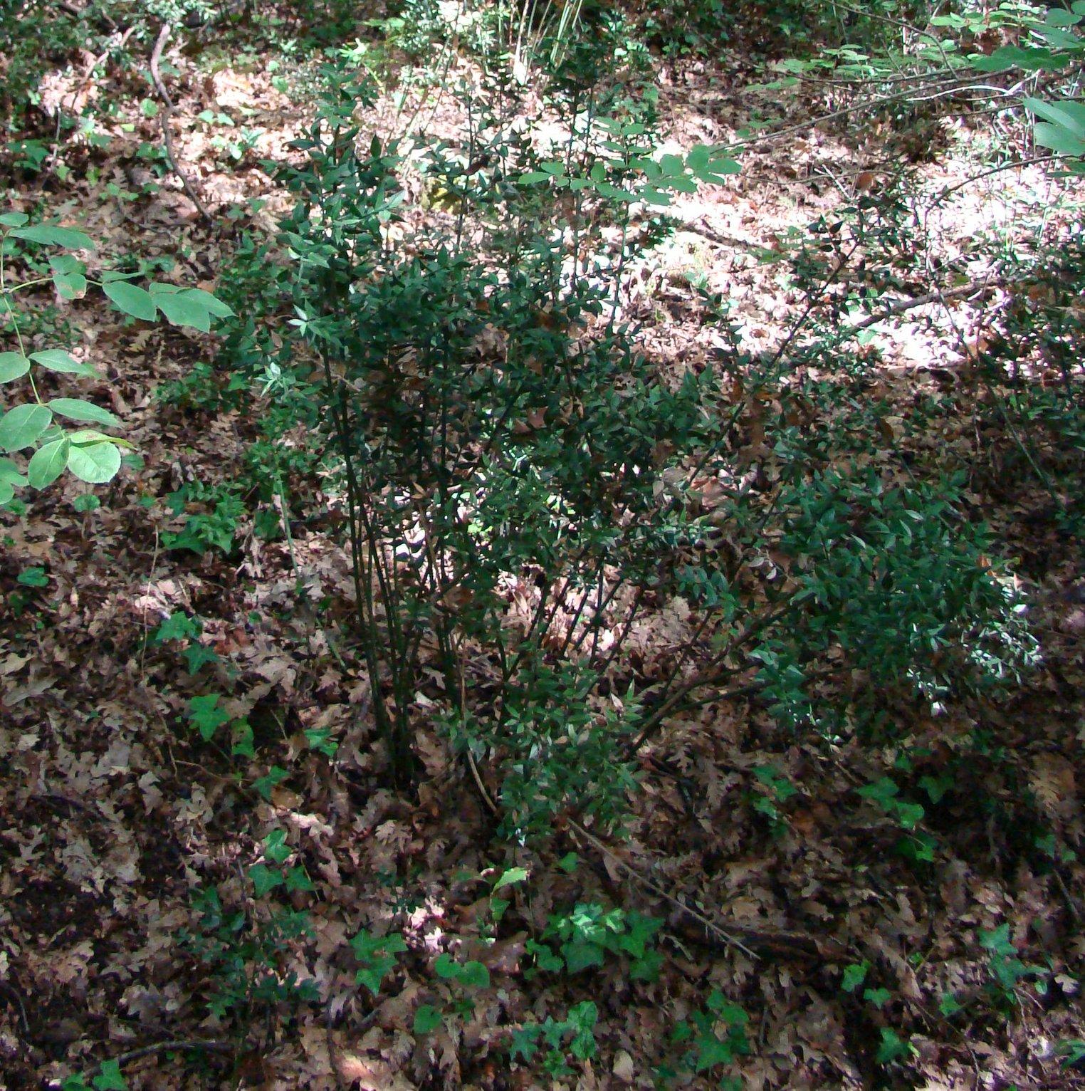 Sottobosco con piante di pungitopo (di Giuliana Profeti)