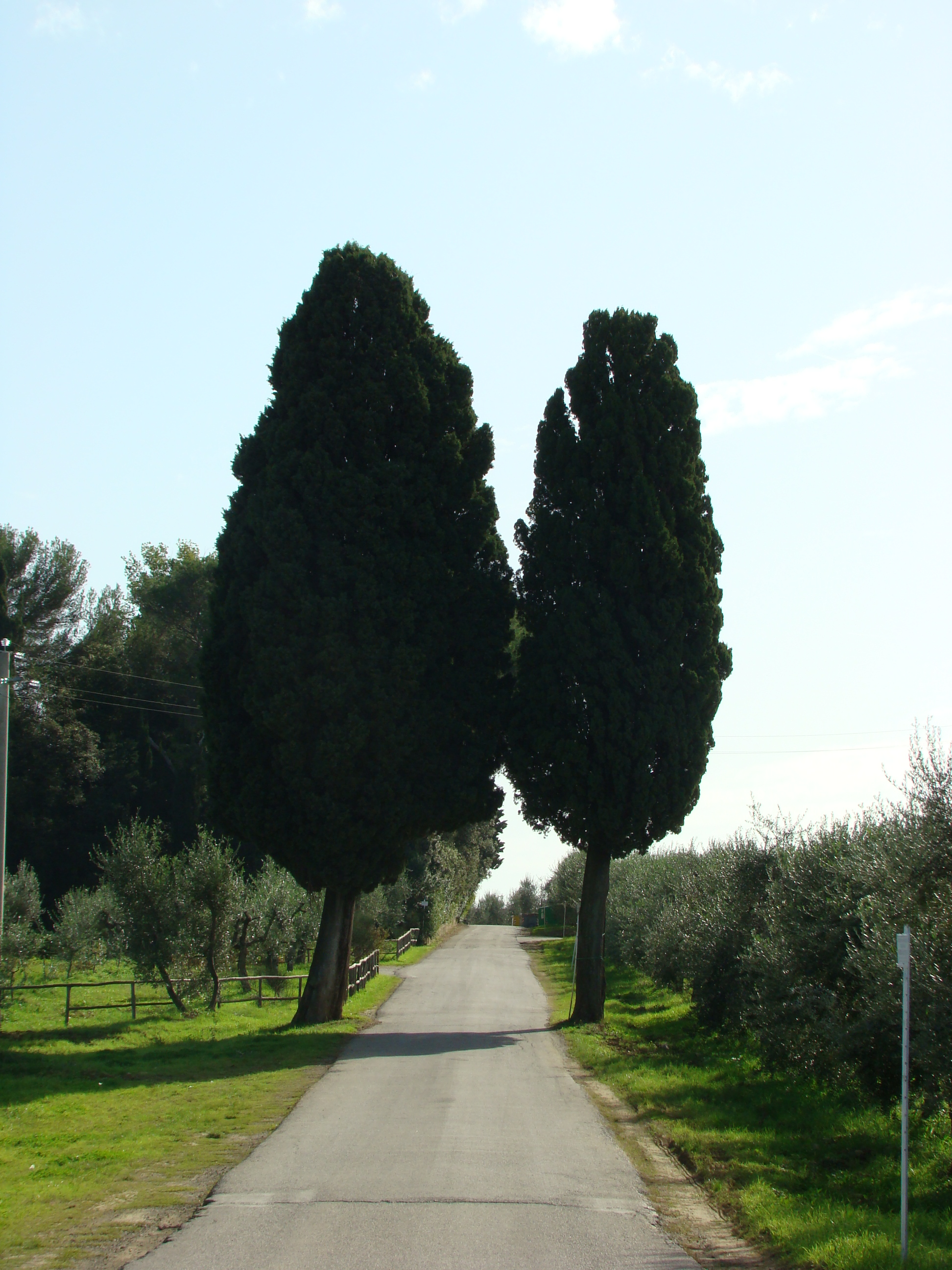 Cipressi lungo la strada (di Giuliana Profeti)